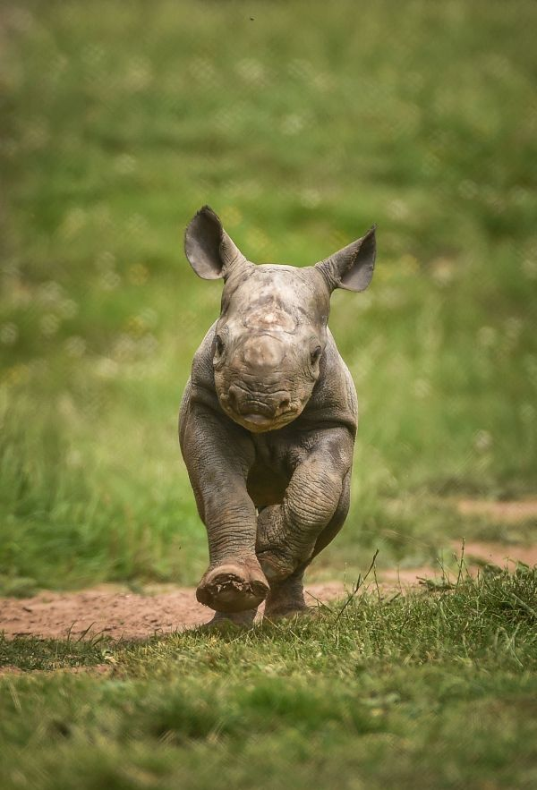 Two rare Eastern Black Rhino calves were born within days of each other at the Chester Zoo, boosting global numbers of the Critically Endangered species.  Learn more at ZooBorns.com and at http://www.zooborns.com/zooborns/2017/07/two-rhinos-born-days-apart-at-chester-zoo.html
