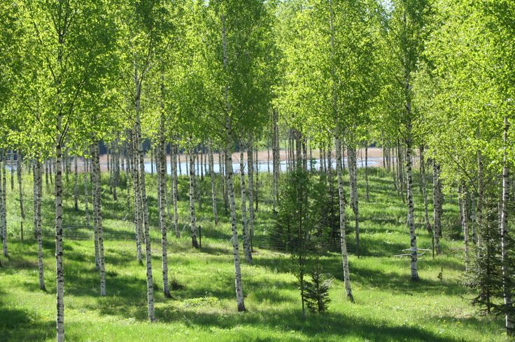Birches in early June.