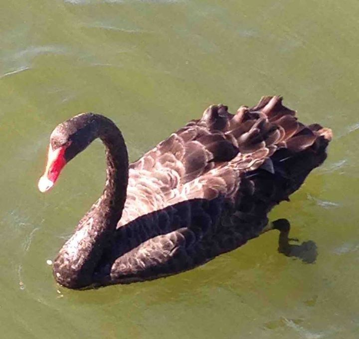 A Black Swan (Cygnus (Chenopis) atratus) spotted near central Perth!