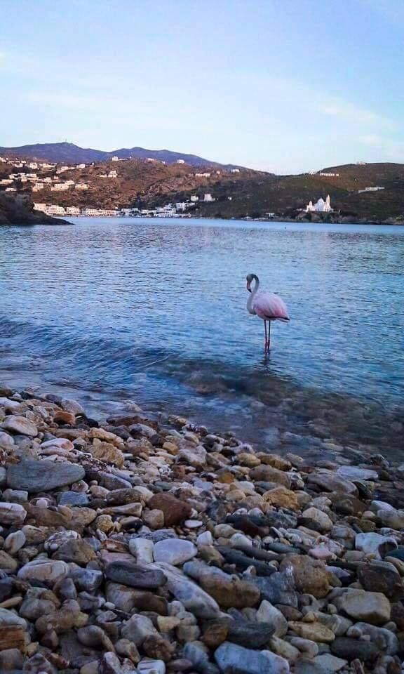 Summer visitors started arriving in Ios Greece like this beautiful Flamingo