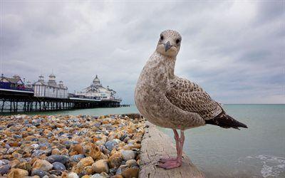 Scarica sfondi eastbourne, spiaggia, il gabbiano reale, inghilterra