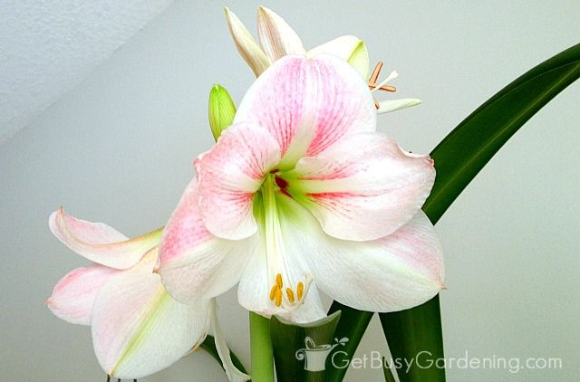 How To Rebloom Your Amaryllis Plants Amaryllis Plant Amaryllis Amaryllis Care