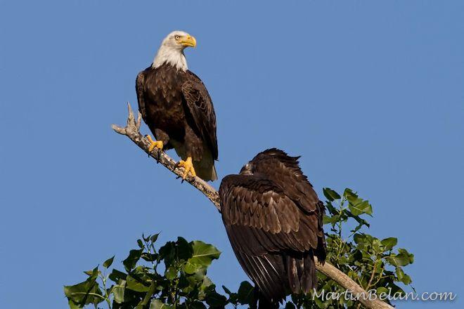 Juvenile Bald Eagle with Mom