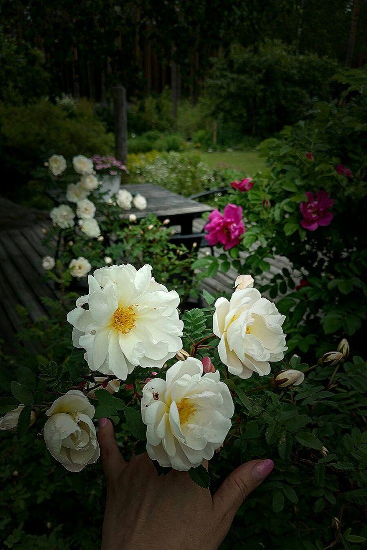 Rosa Pimpinellafolia Plena/ My garden/ Finland