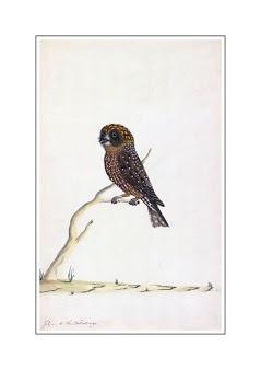 The Sydney Bird Painter-Boobook owl