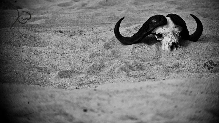 #KyleWoodenbergPhotography #sabi #buffallo #skull #Durban #Photographer