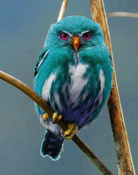 Beautiful owl. Liriobanda Liriobanda The color is the imagination of some photoshop user.  Makes for a beautiful,  imaginary colored bird.