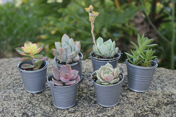 100 Wedding Succulents with 100 SILVER Pails Perfect for Wedding Party Favors vintage succulent pail flowers on Etsy, $275.00