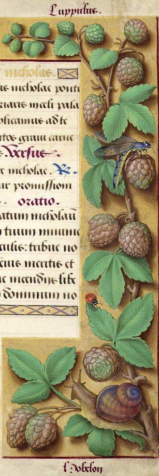 Hobelon - Luppulus (Humulus lupulus L. = Houblon) -- Grandes Heures d'Anne de Bretagne, BNF, Ms Latin 9474, 1503-1508, f°184r