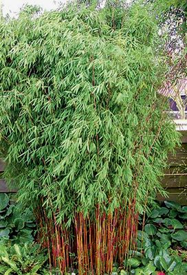 Red Fountain Bamboo - 2 Gallon - Bamboo Grasses - Buy Plants Online