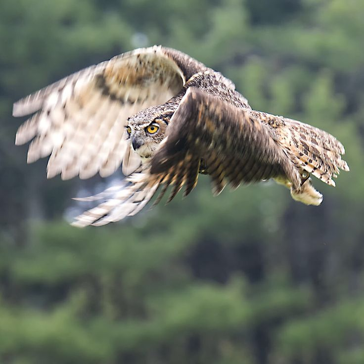 Great horned owl flying in Ontario. I slowed down the shutter speed to 1/160th of a second to create blue in the wings.