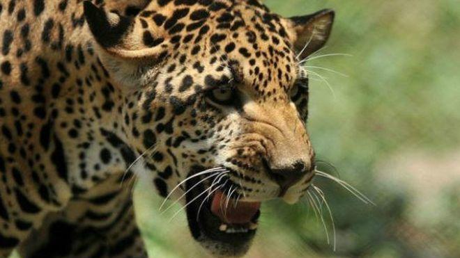 """Devuelven de un zoo a un jaguar """"demasiado gordo para aparearse"""" en el zoo de Delhi, en India. El animal, cuyo nombre es Salman y tiene 12 años, fue """"prestado"""" hace un año por un zoo de Kerala, en el sur del país. """"Es perezoso y glotón, sólo le gusta comer y relajarse"""", aseguran sus cuidadores""""."""