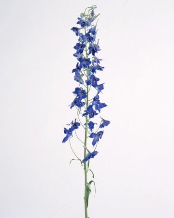 Delphinium Flower... The Delphinium flower is a symbol of infinite possibility, and believing that anything is possible. Stretch your current beliefs and keep reaching for the stars, one baby step at a time.