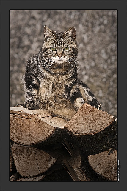 Le Chat Corse, attention aux griffes.... | Flickr - Photo Sharing!