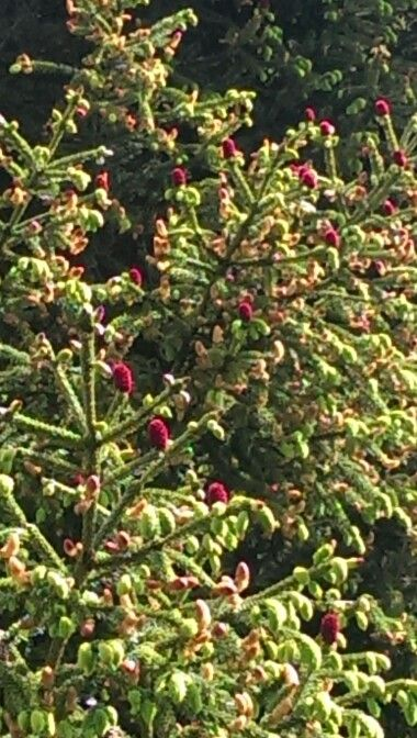 Picea likiangensis 'Purpurea'