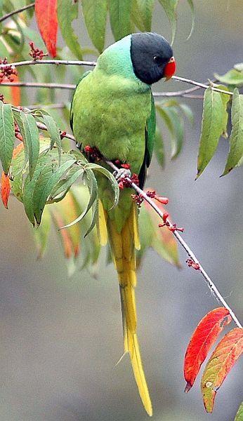Slaty-headed Parakeet - Pakistan,  Nepal, Bhutan & parts of India.