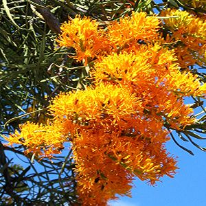 Here in Western Australia, it's not snow or jingle bells that tells me Christmas is a-comin'.  Its this beautiful flowering tree, commonly called the Western Australian Christmas Tree (funny that!) or Nuytsia floribunda.  It is so vivid and beautiful.