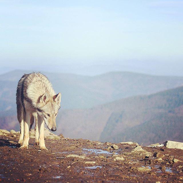 #outdoors #czechoslovakianwolfdog #beskydy #lysahora