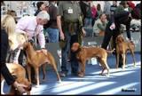 Open dog class
