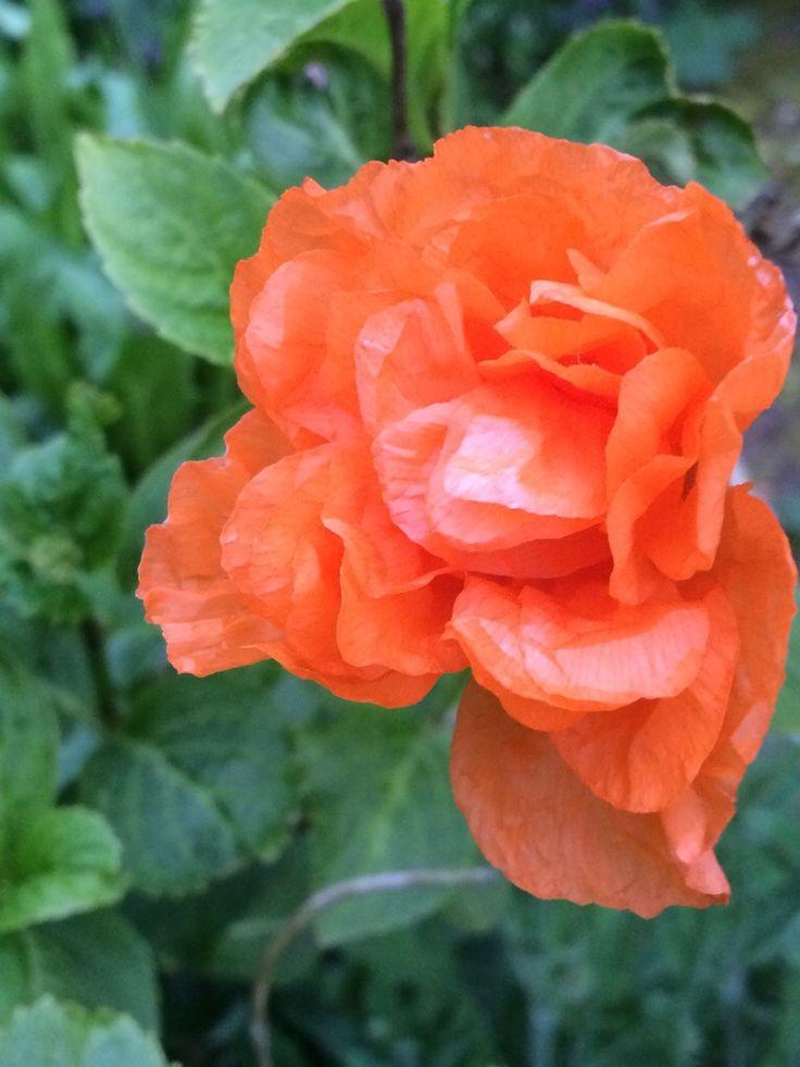 Wordless Wednesday Burst of Orange Orange, Flowers, Rose