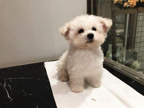 Bichon Frise puppy for sale in SAN JOSE, CA  ADN-70445 on