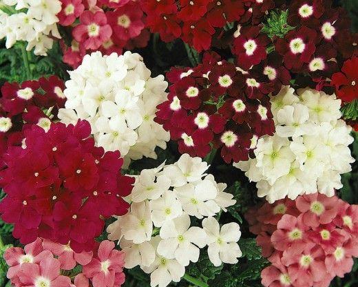 Вербена — 10 однолетних цветов на рассаду  К декоративным достоинствам вербены принадлежит не только очень продолжительное цветение, но и большая вариативность окрасов различных сортов. Это красивоцветущие культуры с яркими окрасами мелких цветков с белым «глазков», собранных в небольшие зонтики соцветий над яркой и пышной зеленью.