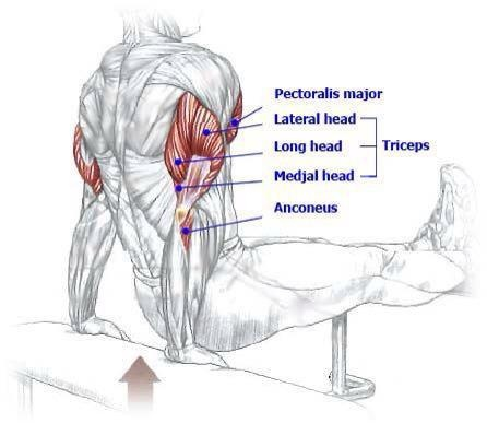 Triseps | Muscle Diagrams | Pinterest | Benches and Dips