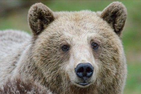 """Prosegue la caccia di Daniza, l'orsa di 18 anni, che il 15 agosto ha ferito Gabriele Maturi, cercatore di funghi nei boschi di Pinzolo. La persona """"aggredita""""..."""