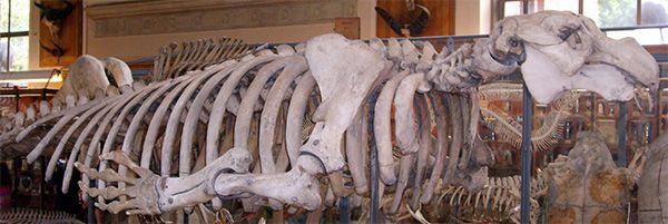 ステラー海牛の骨