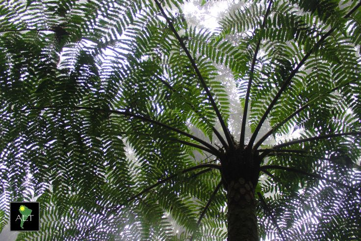 Massive ferns are one of the staple plants in the cloud forest