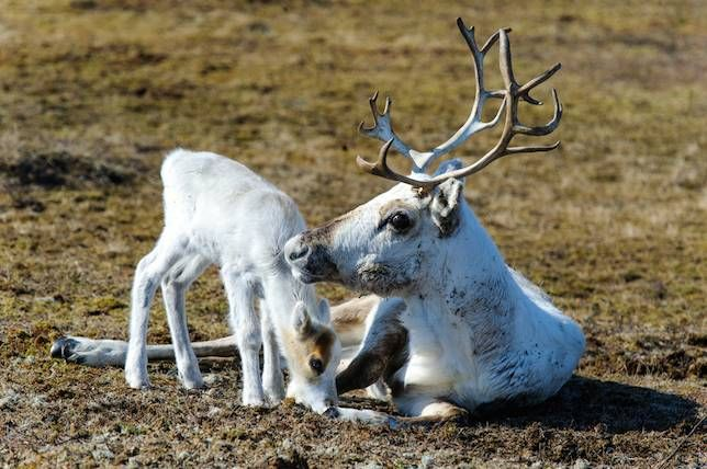 Females have antler power! Unique among the more than 45 species of deer, female reindeer grow antlers too. Males shed their antlers in early winter and females shed theirs much later, meaning that Santa's sleigh is likely powered by a group of she-deer!