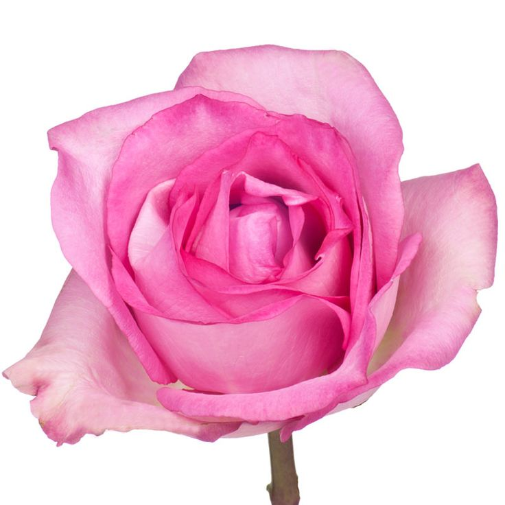 Priceless is a medium pink rose with a long vase life.