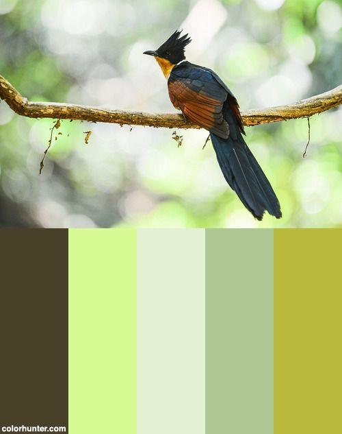 Clamator+Coromandus,+Chestnut-winged+Cuckoo+-+Kaeng+Krachan+National+Park+Color+Scheme