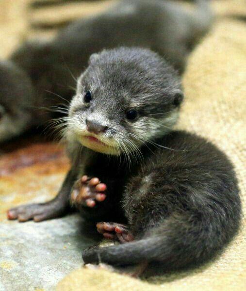 "An Adorable Baby Otter.  ""Adorable, Cute Baby Animals"""