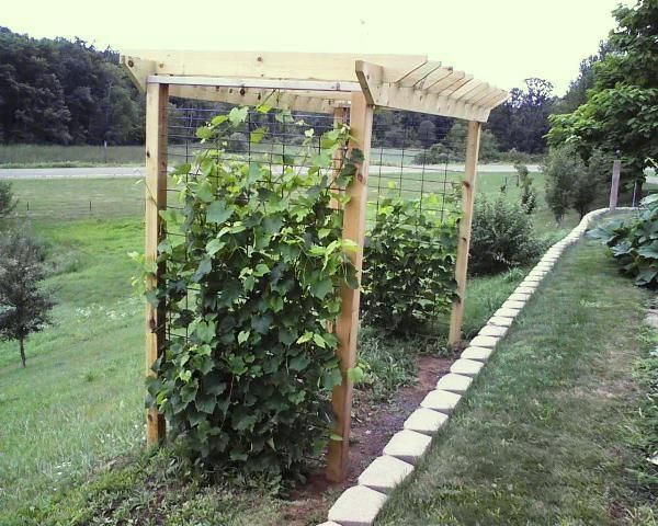 how to train grape vines on pergola