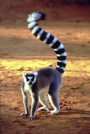 Lemur's of Madagascar (Ring-Tailed) is a large strepsirrhine primate | (Family: Lemuridae)