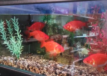 5-6 inch goldfish for sale special price £4 each.