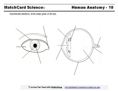 The Human Anatomy Unit Study is for 3rd to 8th grade. It is based on the Learning Tree model of unit studies. A six to eight week homeschool unit study from the MatchCard Science series, it provides FREE worksheets and hands-on projects to master the major systems of the human body.
