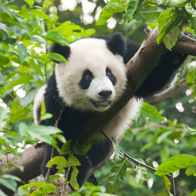 Panda population increases by 17%