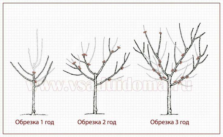 Правильная обрезка деревьев и кустарников в саду - открытый центр и крона