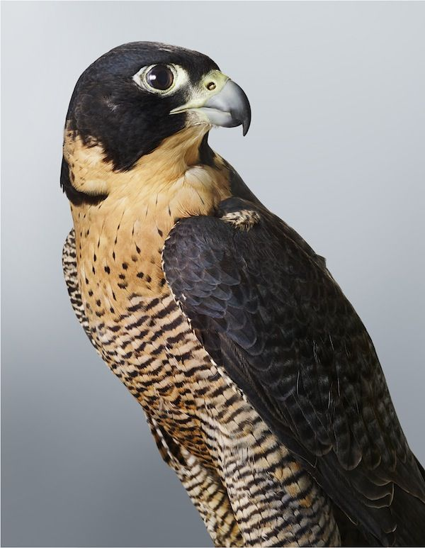 trustyourblood:  'Cleo' Peregrine Falcon, 2014. Part of Leila's upcoming exhibition 'Prey' at Olsen Irwin Gallery. Photo – Leila Jeffreys.