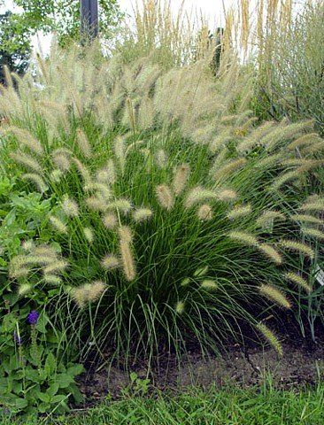Fountain Grass Soft White Wooly