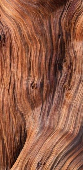 Bristlecone pine by Lee Rentz