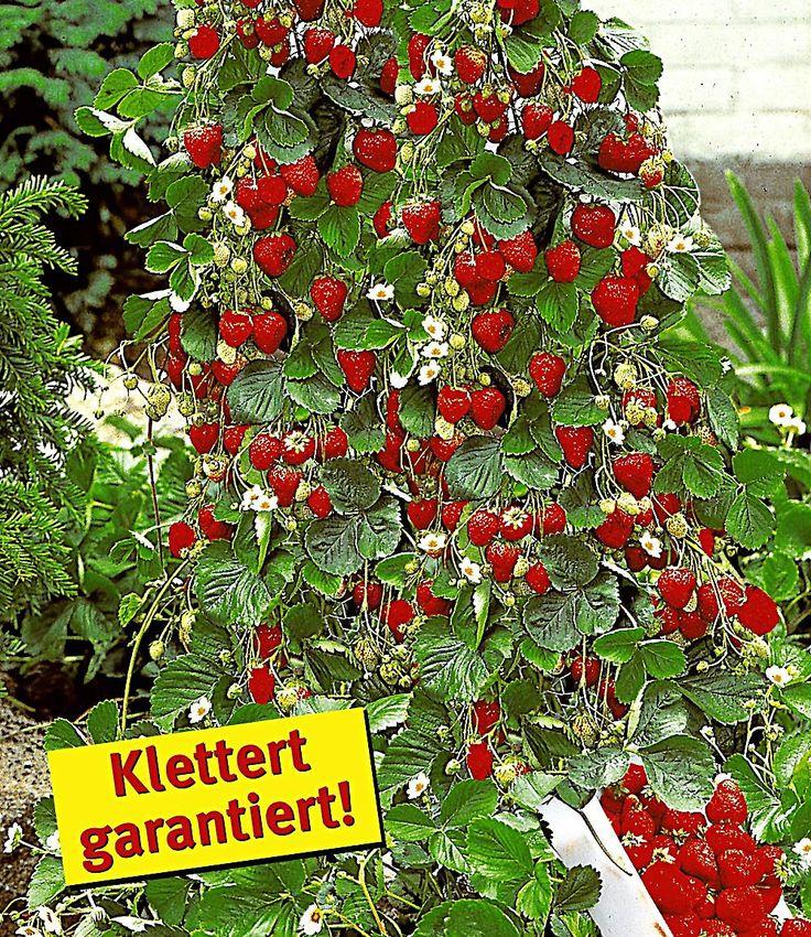 Kletter-Erdbeere 'Hummi®' und Dekorativer Rankturm,1 Set günstig online kaufen - Mein Schöner Garten Shop