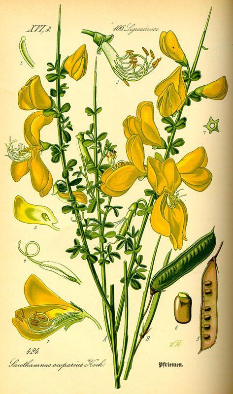 Flora von Deutschland Österreich und der Schweiz (1885) - Cytisus scoparius