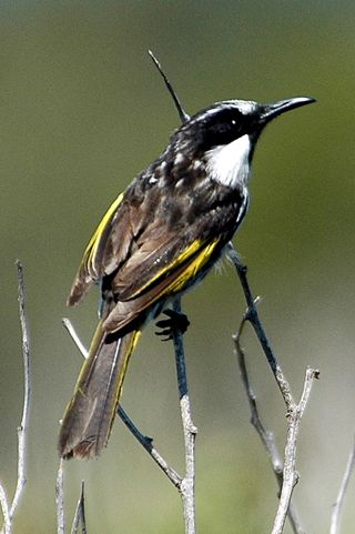 Click here for information on this Australian New Holland Honeyeater photo. You can buy handmade greeting cards with this photo for just $4.50 delivered. www.theshortcollection.com.au/Australian-Birds