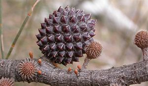 Allocasuarina verticillata seed cones. Photo not from the Arboretum