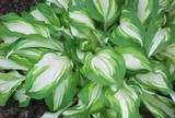 Hosta...absolutely nothing better for a really shady area.  So pretty and neat lined up or in a semi-circle.