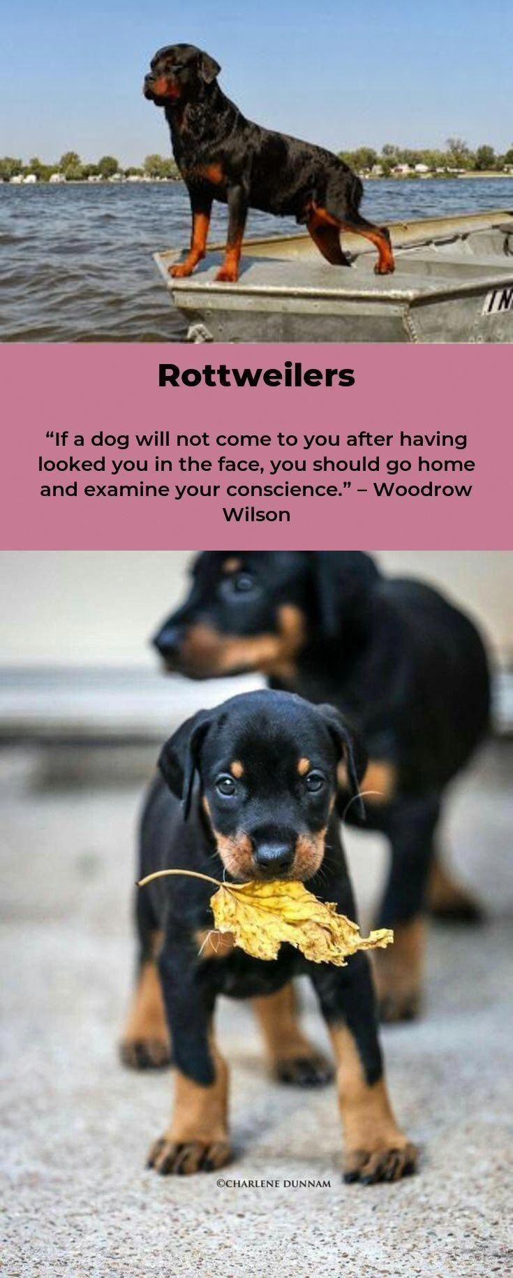 All The Things We Adore About The Calm Rottweiler Dogs