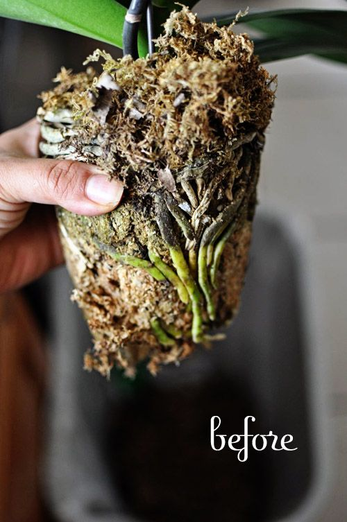Repotting an orchid if you love somebody gracelaced gardening pinterest orchid es - Prendre soin des orchidees ...